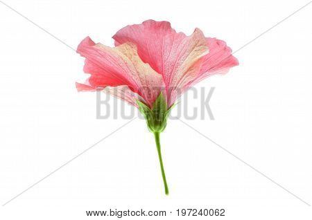 Isolate pink hibiscus or chinese rose in side view,  a close up photo image of pink hibiscus or chinese rose in side view isolated on bright white light background present a detail of structure of pink hibiscus or chinese rose in side view angle