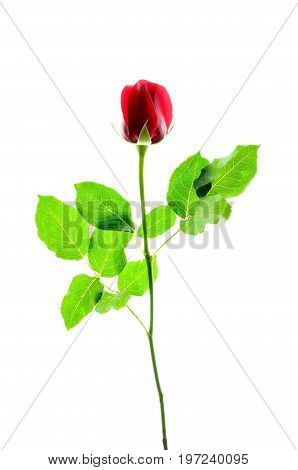 Isolate beautiful red rose with green leaves, a silhouette close up photo image of beautiful red rose flower of valentine day with green rose leaves on the stem isolated on a bright white light background