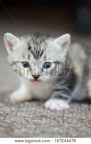 Small Cute Kitten On Carpet