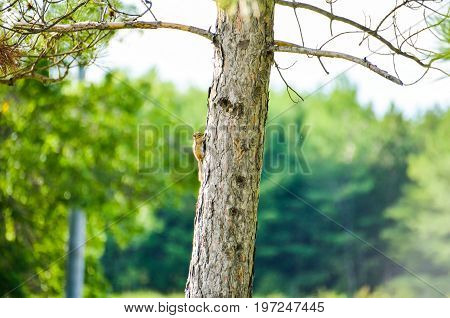 Small chipmunk on tree trunk during sunset isolated with bokeh background