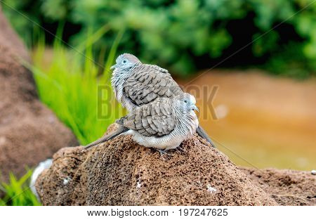 The zebra dove (Geopelia striata) also known as barred ground dove is a bird of the dove family Columbidae native to Southeast Asia.