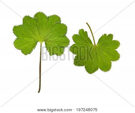 Pressed and dried leaf Alchemilla vulgaris. Isolated on white background. For use in scrapbooking floristry (oshibana) or herbarium.