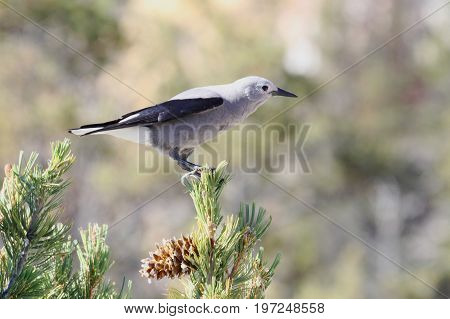 Clarks Nutcracker (Nucifraga columbiana) in Yellowstone National Park