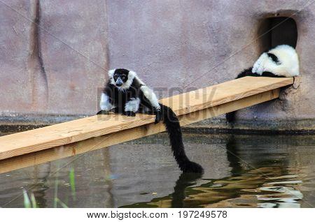 The black-and-white ruffed lemur (Varecia variegata) is a Critically Endangered species of ruffed lemur.