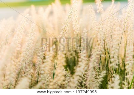 Nature Background Of Dry Tan Grass Grain Hay Or Flowers Illuminated In Sunlight