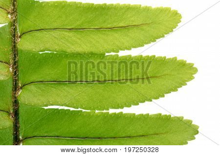 Isolate green sword fern leaves, sword fern leaves texture and pattern, tropical plant, a close up photo image of sword fern foliage isolate on bright white light background present a detail of foliage texture and pattern