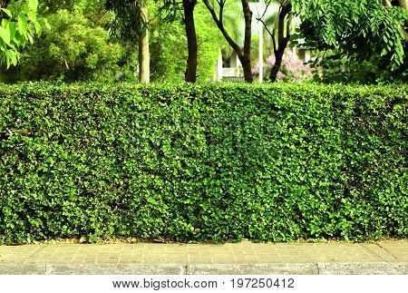 Green hedge fence, a green hedge that grow around the house use it as a fence between the house and public sidewalk a dense of green leaves from the hedge make it look like a wall