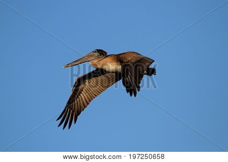 Brown Pelican (Pelecanus occidentalis) in flight against a blue sky