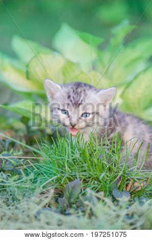 Meowing Kitten  Sitting In Flowers