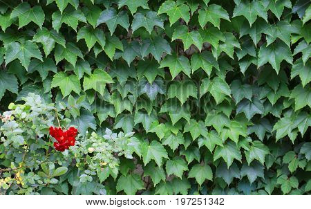 A green leaf stuck to the wall and a scene of a red flower