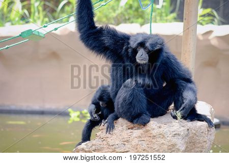 A Siamang (Symphalangus syndactylus) mother and baby.