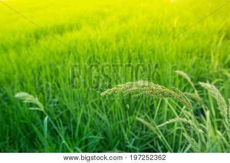 The green rice field with its leaves and seeds is the golden morning light. In addition to being a farming career, it is also a fascinating and fascinating environment.
