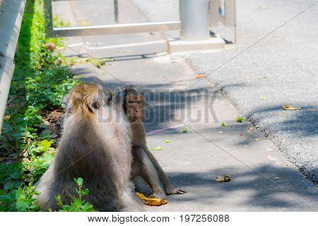Monkey is looking for lice on a friend's head.