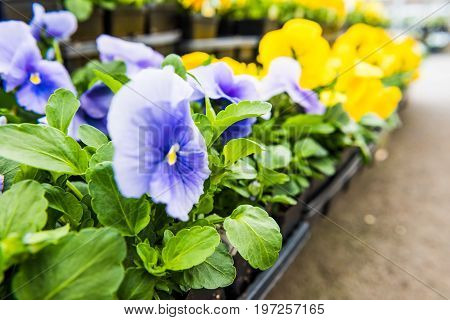 Closeup Of Blue And Yellow Pansy Flowers In Pots In Store Nursery