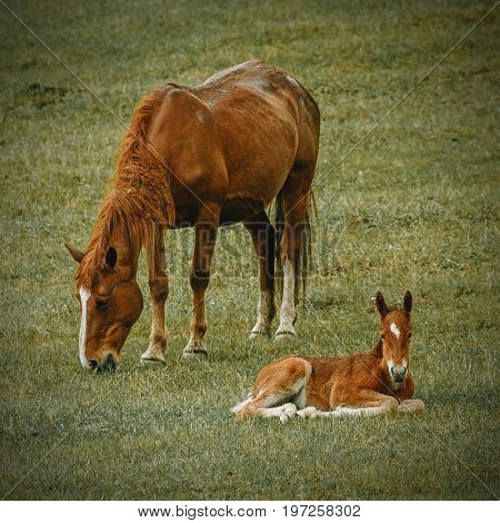 A mother horse eating grass with near relaxing foal