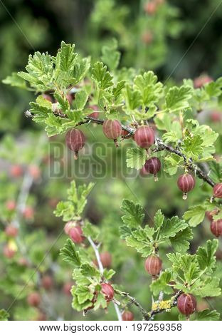 Fresh gooseberries on a branch of gooseberry bush in the fruit garden organic growing