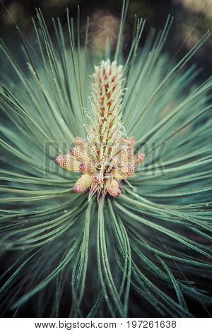 Pinus nigra (black pine) with the male pollen producing strobili visible