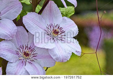 Summer Flowers, Clematis