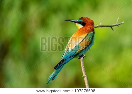 European bee-eater or Merops apiaster is perching on a twig