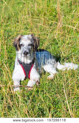 Cute white and black bulgarian shepherd dog puppy with red collar in the grass closeup portrait
