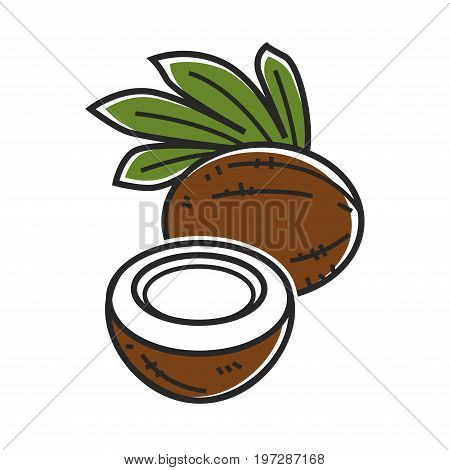 Delicious whole and half of coconut with palm leaves isolated on white background. Fruit with fibrous surface, sweet flesh and special milk inside. Exotic tropical nut cartoon vector illustration.