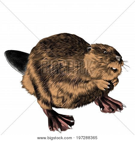 beaver stands on its hind legs sketch vector graphics color picture