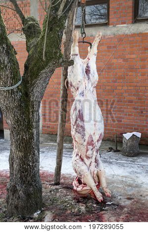 Home Pig Slaughter, Pig Hanging