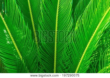 Long spiky palm tree leaves in beautiful geometrical pattern botanical foliage tropical background text ready copy space