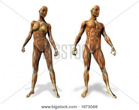 Female/male Anatomy Illustration
