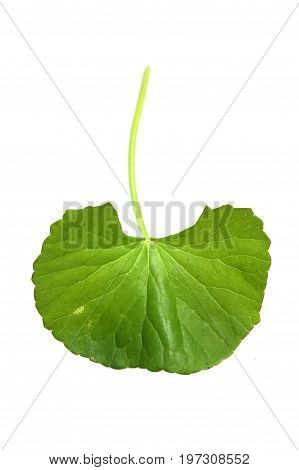 close up Centella asiatica leaves on white background
