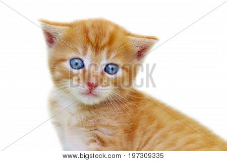Animals, Pets, Cats concept - Cropped shot of kitten isolated on white background. Cute red kitten isolated over white. Ginger tabby kitten isolated.