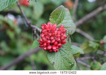 The fruit Viburnum lantana. Is an green at first, turning red, then finally black, wayfarer or wayfaring tree is a species of Viburnum,