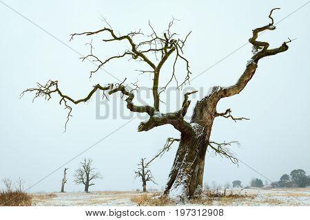 Oaks in the winter aura. Rogalin Landscape Park in Poland Wielkopolska.