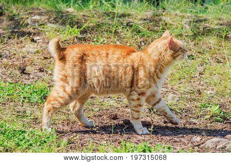 Wild Red Cat