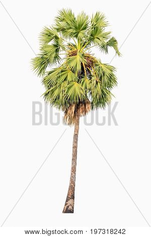 Borassus flabellifer known by several common names including Asian Palmyra palm Toddy palm Sugar palm or Cambodian palm isolated on white background