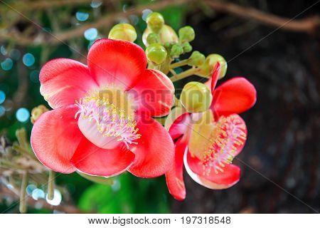 Sal tree have red flower Scientific name: Shorea robusta.