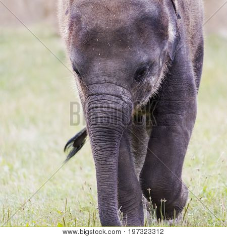 A closeup of the head of a young elephant (Asian or Asiatic elephant)