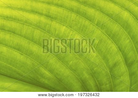 Macrophotography of curve texture of beautiful green leaf