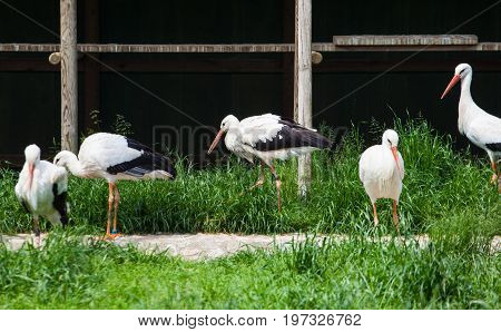 View of White storks in the Animal husbandry