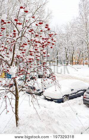 In the city after a large snowfall. Red Rowan in the snow. Large drifts, snow drifts. Drifts of snow lie on a parked car.