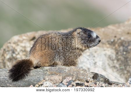 Juvenile Marmot.  Marmots are common in the Rocky Mountains and are very sociable animals. They are related to squirrels.