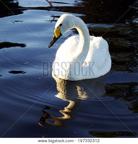One image of my swans series taken during the month of July on the fresh water shorline of Ontario Canada.