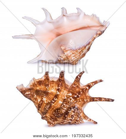 Big beautiful seashell isolated on white background. Two sides view of seashell