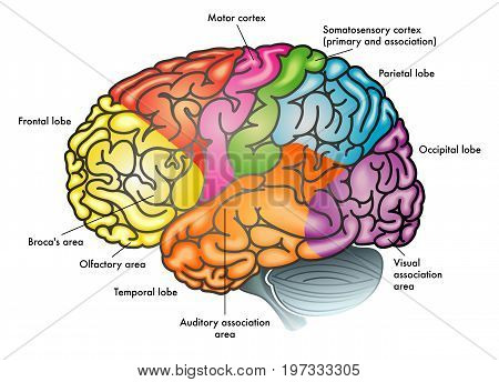 medical vector illustration of areas of the brain and functions