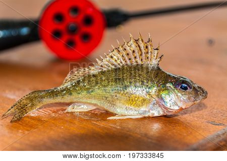 Gudgeon lay on the table amid the winter fishing rods