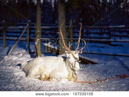 White Reindeer In Farm In Lapland Northern Finland Night