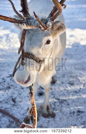 White Reindeer At Farm In Winter Lapland Northern Finland