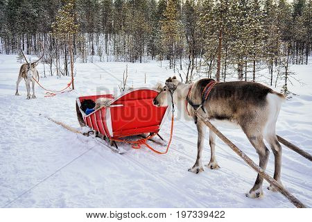 Reindeers With Sleigh At Winter Forest In Lapland Northern Finland