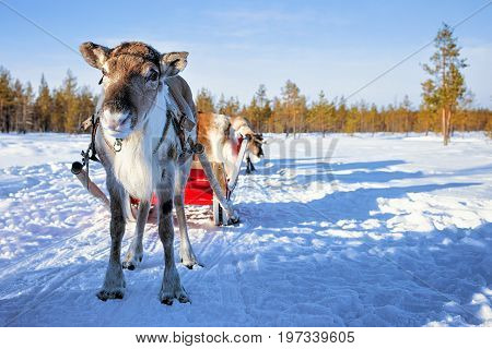 Reindeer With Sledge And Winter Forest In Lapland Northern Finland