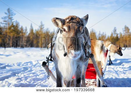 Reindeer With Sledding At Winter Forest In Lapland Northern Finland